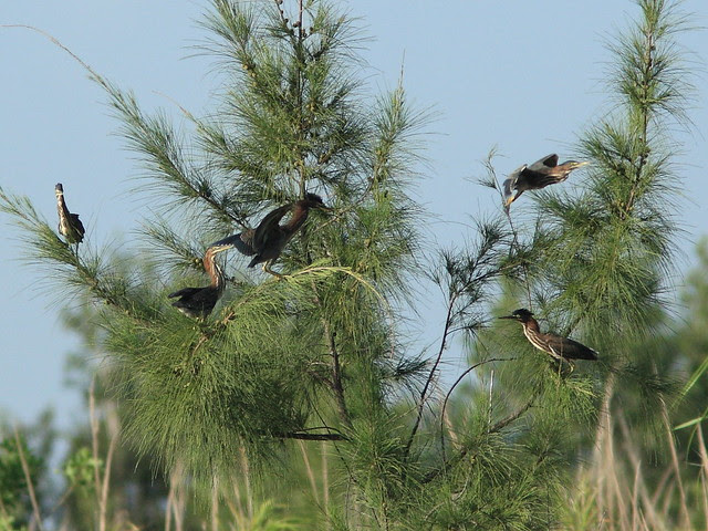 Green Herons five 20120731