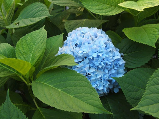 Plant of The Week-Hydrangea