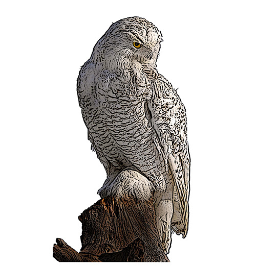Snowy Owl National Bird Project Canadian Geographic