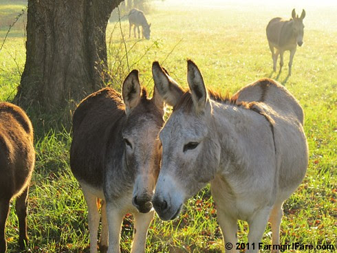 Autumn morning in Donkeyland 5 - FarmgirlFare.com