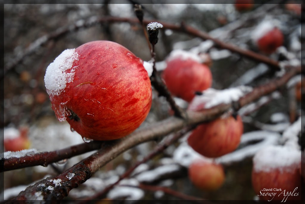 Apples hanging on a tree, with a cap of ice and snow.