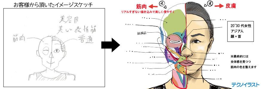 筋肉の解剖図のイラスト テクノイラスト