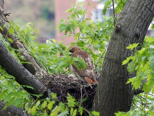 Highbridge Red-Tails