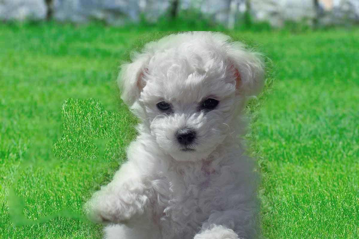 Bichon Frise Puppies For Sale  Dog Bazar