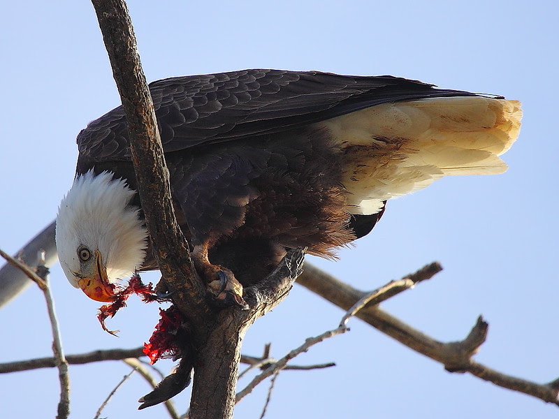 IMG_6375 Bald Eagle Enjoying Meal