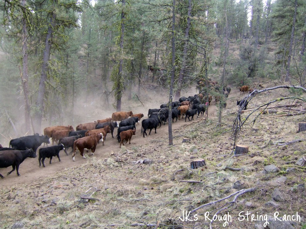 Trailin' Cows out of the Forest