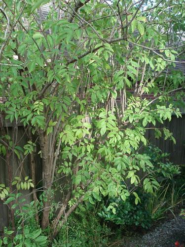 elderberry1.jpg