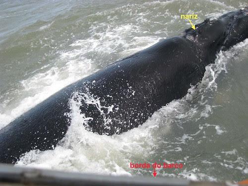 Baleia Franca próxima ao barco 06