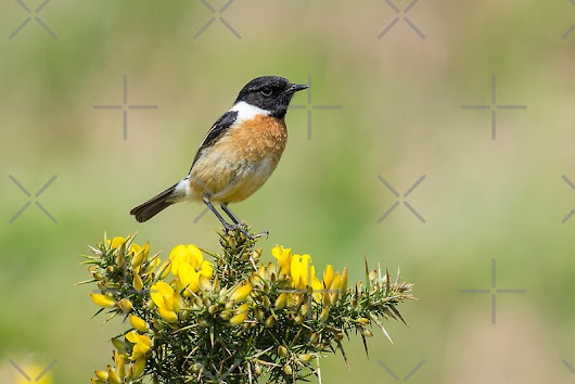 Stonechat on Gorse by Steve Miller