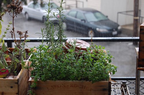 rain, rosemary