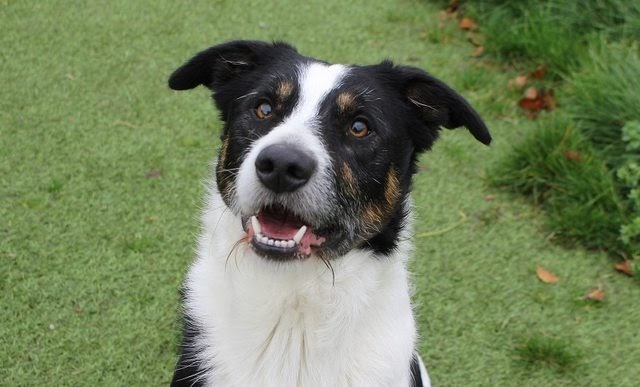 Jack – 2 year old male Border Collie cross Jack Russell Terrier