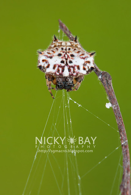 Spiny Back Orb Weaver (Gasteracantha kuhli) - DSC_5724