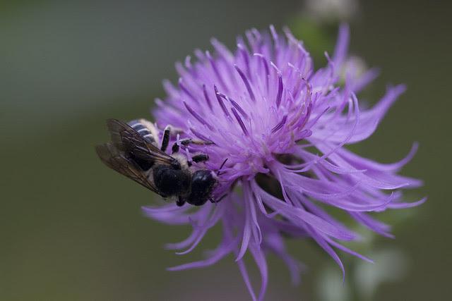 bee in purple flower