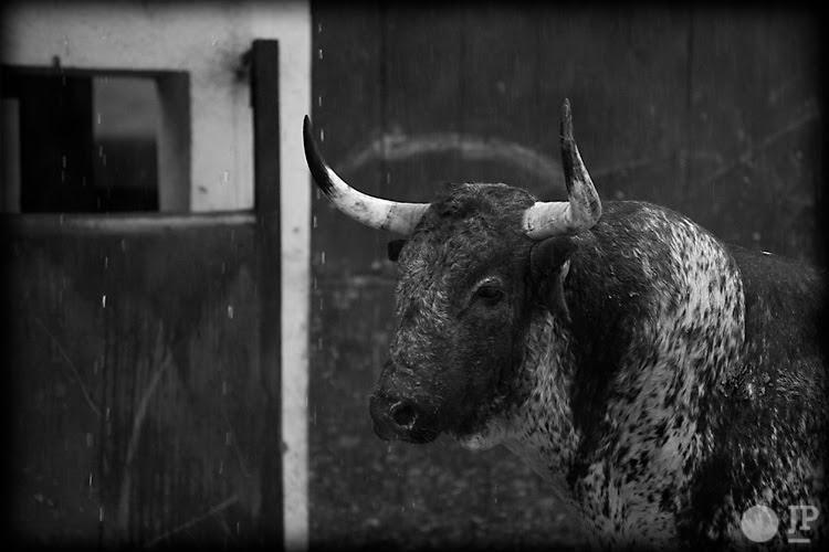 Toro-Conde-de-la-Corte-5