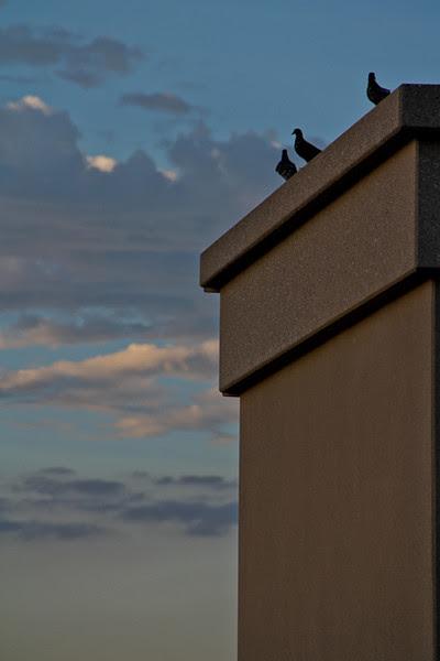Pictorian Pigeons