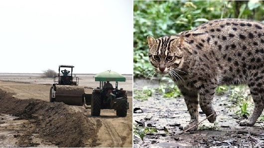 Petitioning the National Green Tribunal: Fishing Cat in Peril – Help Save its Wetland Habitat!