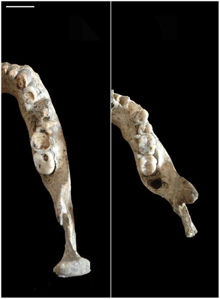 Figura 4 Esquema de la parte distal del cuerpo de D 2735 y D 2600.