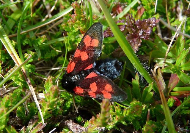 24574 - Six Spotted Burnet, Isle of Mull