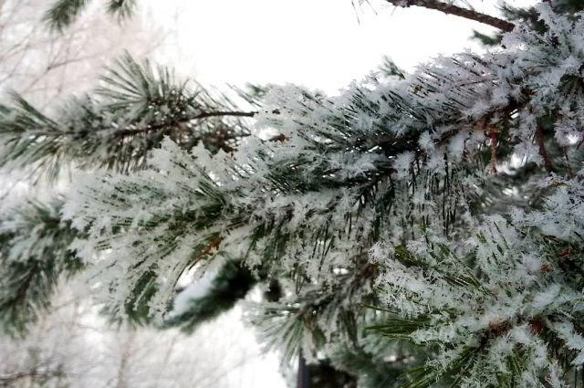Живая, 40-летняя ель украсит сургутский парк