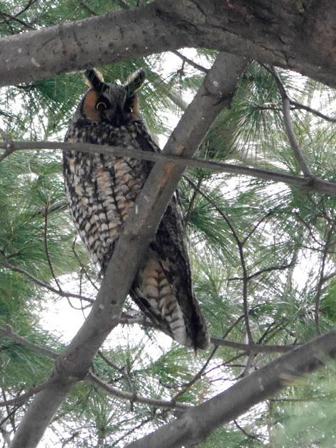 Ed Gaillard: recent &emdash; Long-Eared Owl, Central Park