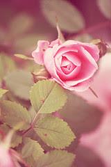 Roses: johnna's tea party
