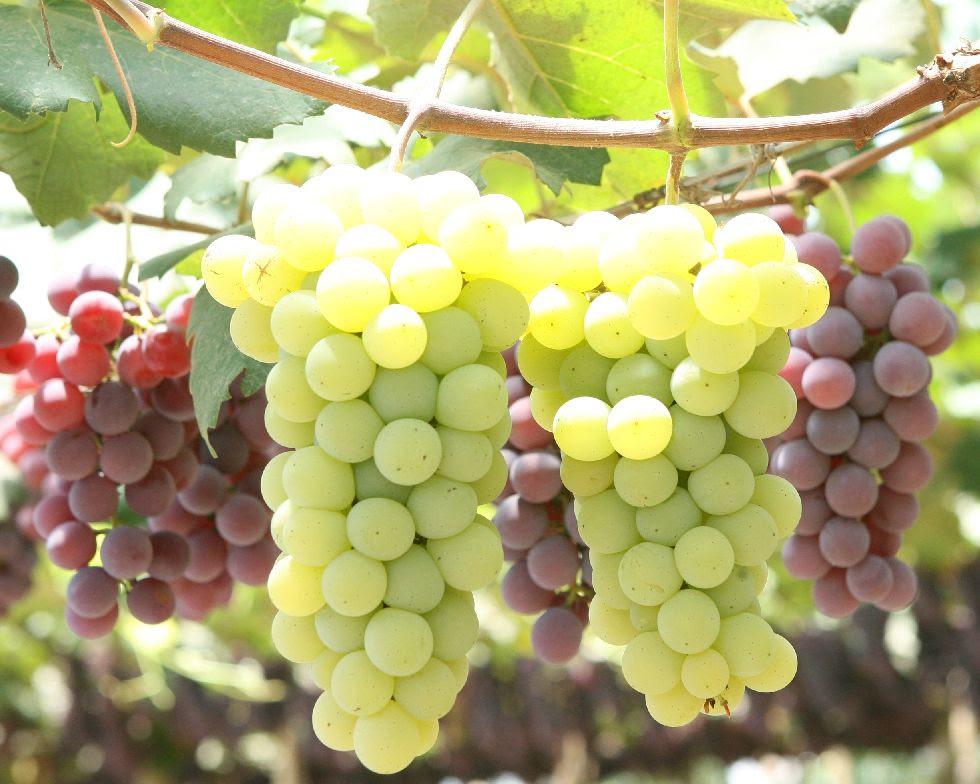 Resultado de imagem para uma bandeja de uvas imagens suculentas e saborosas