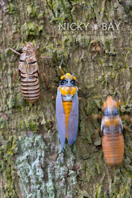 Black and Golden Cicada (Huechys fusca) - DSC_9276