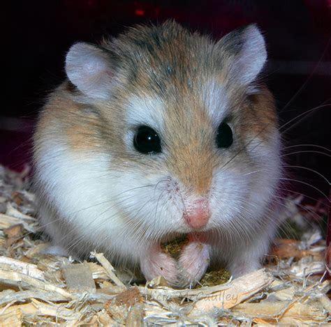 Roborovski hamster   Flickr   Photo Sharing!