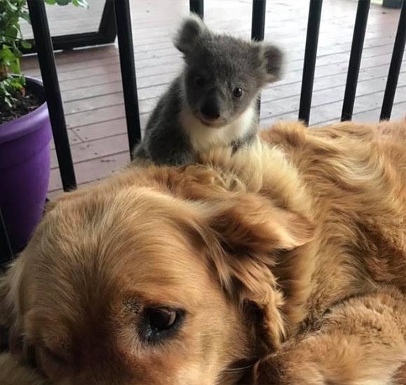 いつのまにかなつかれてた犬の背中に野生のコアラがひっついていた件