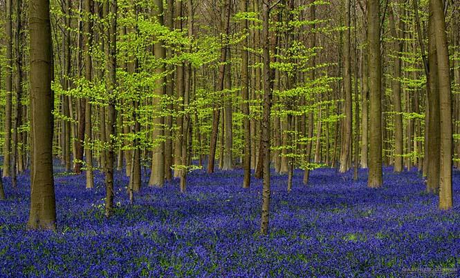 Το εκπληκτικό Μπλε Δάσος του Βελγίου (5)
