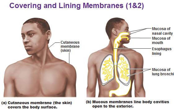cutaneous membrane and mucous membrane