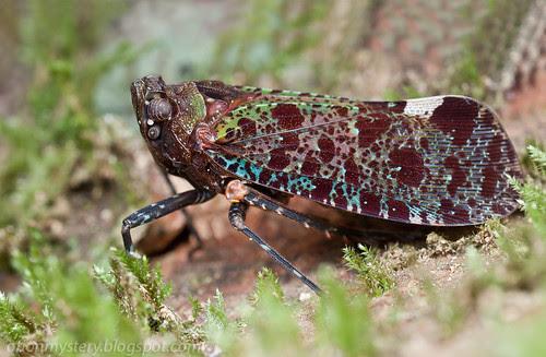 Fulgoridae - Penthicodes variegata<br>IMG_6630 merged copy
