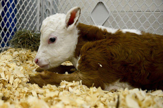 Disabled calf gets new lease on life at GHS