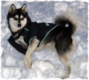 Alaskan Klee Kai Highly Intelligent Breeds
