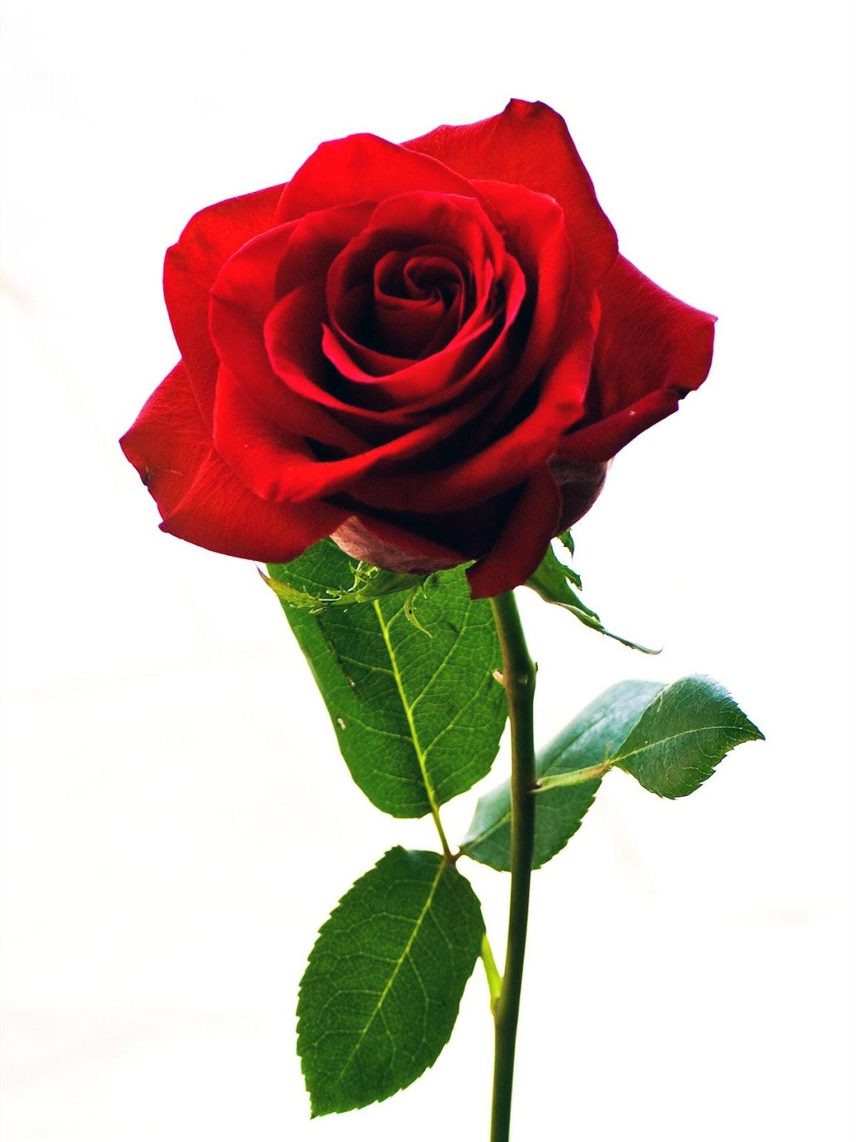 Bunga Mawar - Ciri-Ciri, Karakteristik Dan Klasifikasi