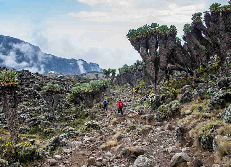 Dendrosenecio (giant groundsel) on the way to Mount Kilimanjaro