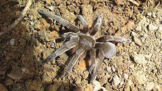 Field of screams: The mystery of Maningrida's 25,000 tarantulas