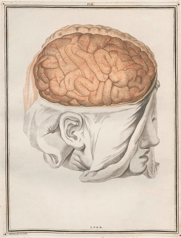 scientific illustration: head with scalp incised, cranial bone removed and brain exposed