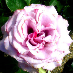 Rose in my Garden!