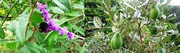 Sage flowers, fijoas
