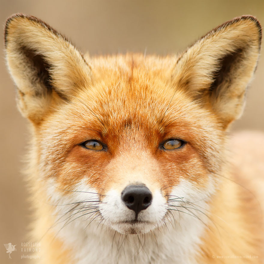 fox-faces-roeselien-raimond-fox