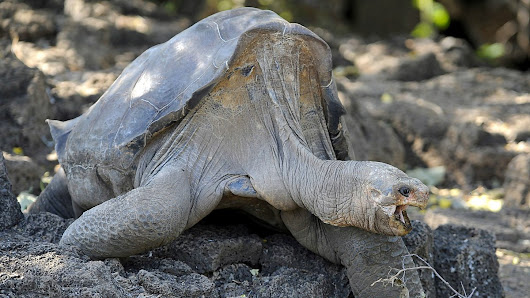 Lonesome George could 'return' from extinction, Newsday - BBC World Service