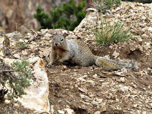 IMG_3961_Squirrel_Desert_View_Road_Grand_Canyon_NP