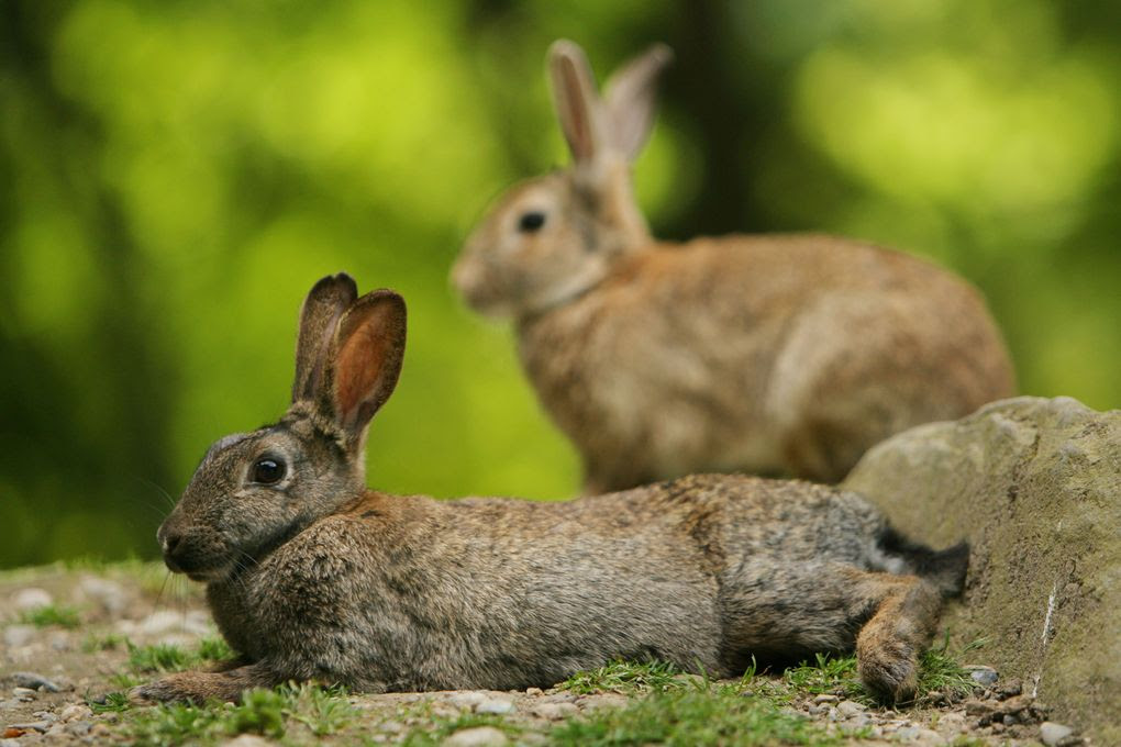 A pair of rabbits relax in Woodland Park in June. (Scott Cohen/The Seattle Times)
