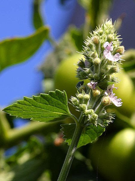 Catnip - Interesting Facts and FAQs about Your Cat's Herb of Choice