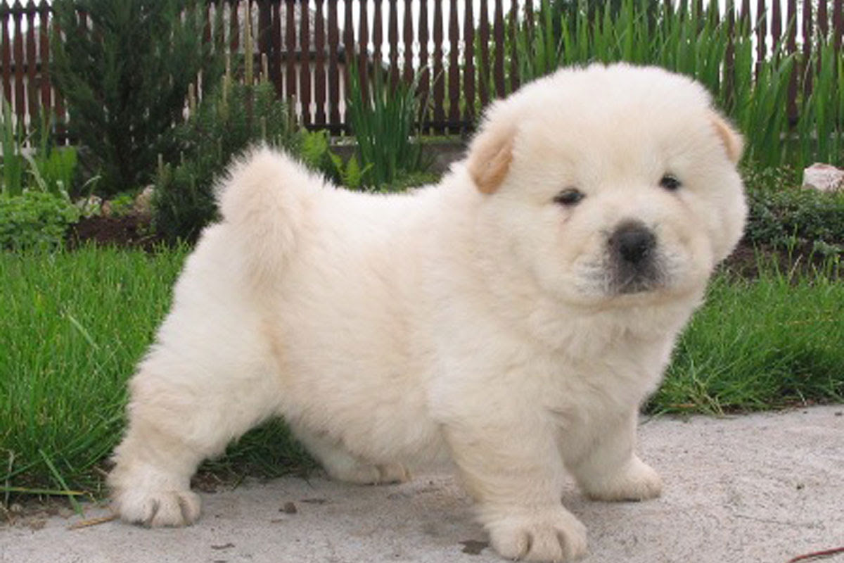 Chow Chow Puppies For Sale  Dog Bazar