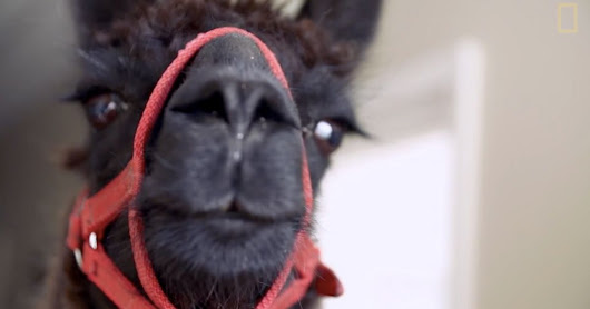 Watch A Pair Of Llamas Bring Joy To Nursing Home Residents