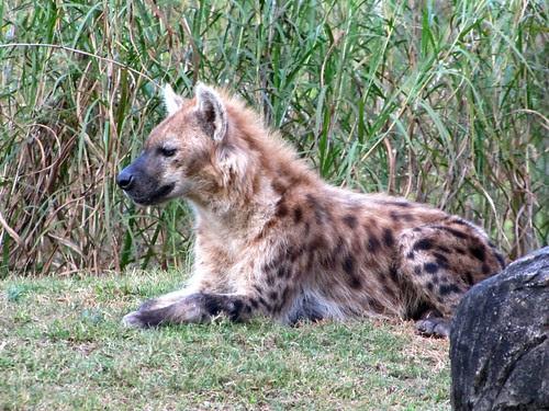IMG_7176_Hyena