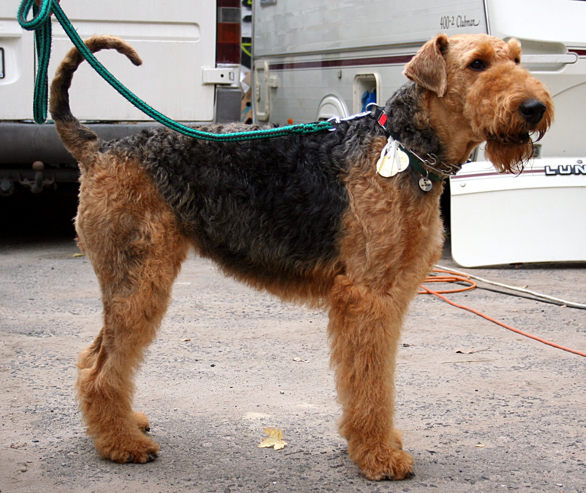 Airedale Terrier  Puppies, Rescue, Pictures, Information, Temperament, Characteristics