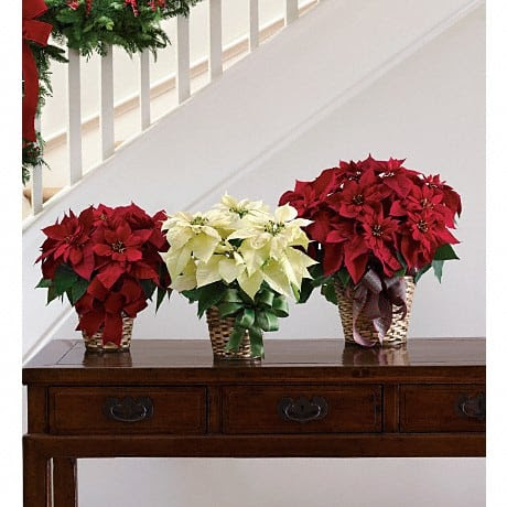 Plant of the Week: Poinsettia - D & A Dunlevy Landscapers, Inc.